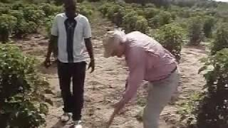 Jatropha roots examined in Ghana.mp4