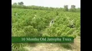 Jatropha Research Plantation in Thailand