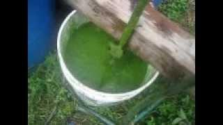 algae processing  -- biofuel experiment