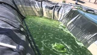 Algae: The Future of Biodiesel