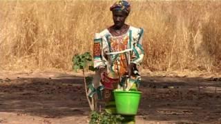 Jatropha i Mali