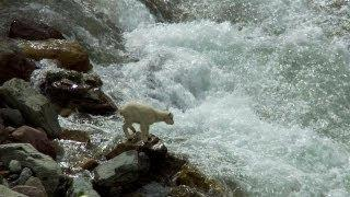 Baby Mountain Goat Braves Rapids | North America