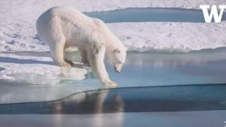 All polar bears across the Arctic face shorter sea ice season