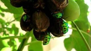 Beetles in Jatropha