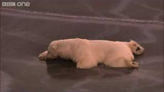 HD: Polar Bear on Thin Ice - Nature's Great Events: The Great Melt - BBC One
