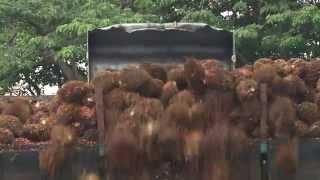 Palm oil biofuel promise