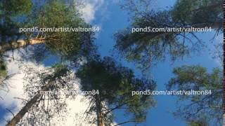 Vertical perspective within a dense forest of pine trees