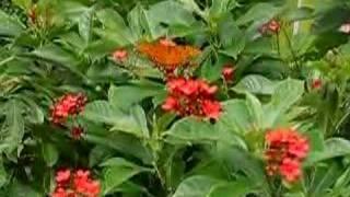 Butterflies on a Red Jatropha