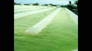 Algae Biofuels Research Paper Video