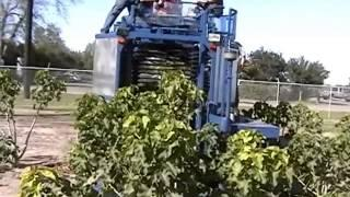 Harvesting Jatropha