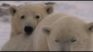 Polar Bears and Melting Sea Ice Don't Add Up