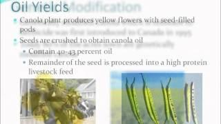 Canola for Biofuel Production