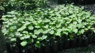 Jatropha in Lhomond (up date 1)