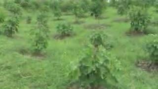 Jatropha Nursery Fort Magsaysay Nueva Ecija 02