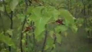 Jatropha carcus Selection