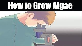 How to Grow Algae | Grow Algae at Home